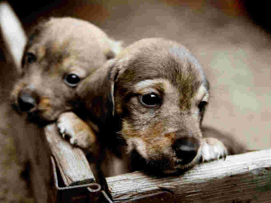 puppies-003647af0da28d4c623195777ac12d2e987fb0b9-s6-c10