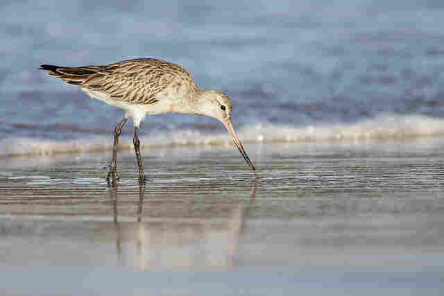 A Bar-tailed Godwit in Australia