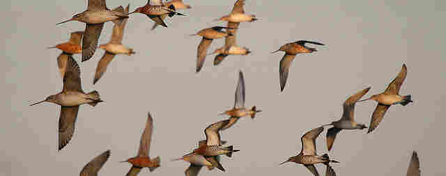Bar-tailed and Black-tailed Godwit in flight