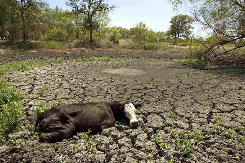 A cow is stuck in the mud in Garfield, Texas, in July. The historic drought has dried up stock tanks all over the s