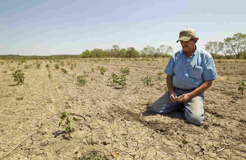 Terry Hash planted 800 acres of cotton, corn, wheat and sorghum, and almost all of it was destroyed by the drought.