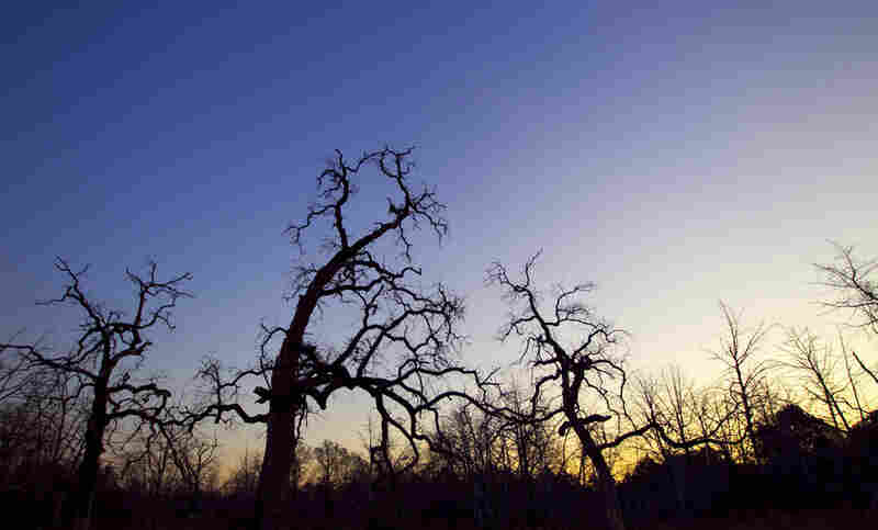 Dead trees are silhouetted against the dawn in Wyldwood.