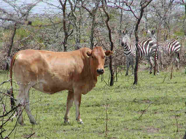 Cattle and zebra share a meal in a pasture in Kenya.