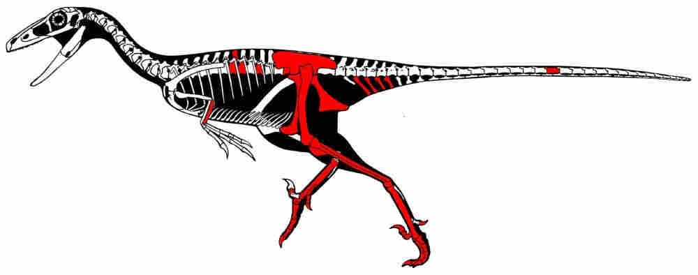 A skeletal reconstruction of Talos sampsoni, with the pieces of the raptor specimen found highlighted in red.