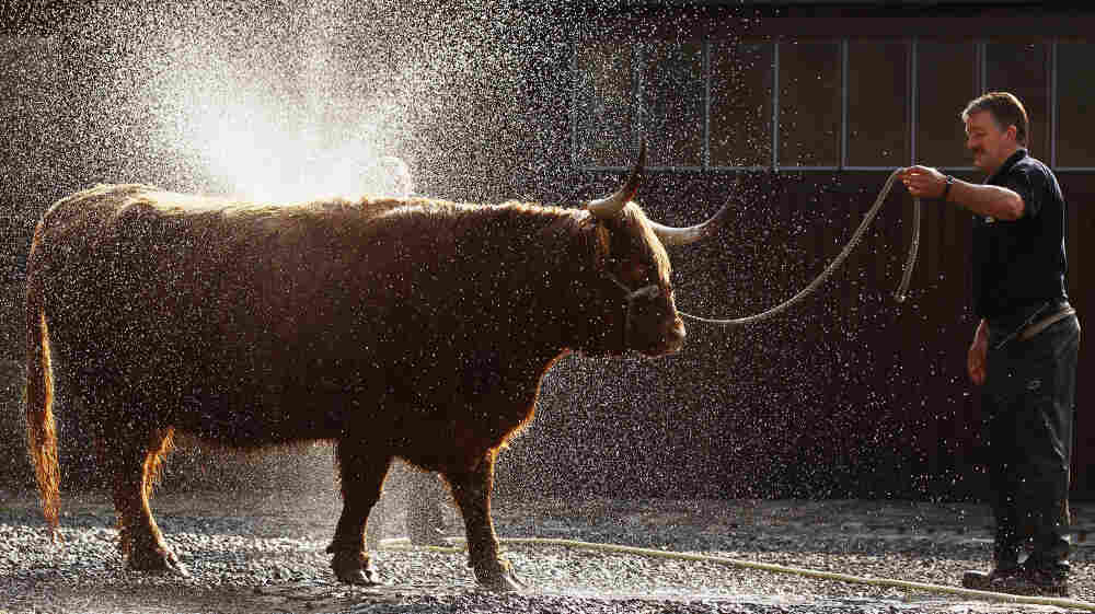 A man readies a cow for the International Highland Cattle Show in Glasgow, Scotland. Researchers say genetics and the amount of time animals and humans spend together can affect how viruses spread between species.