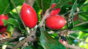 The miracle fruit from West Africa has a chemical that binds to and boosts sweet taste receptors in the presence of acidic foods.