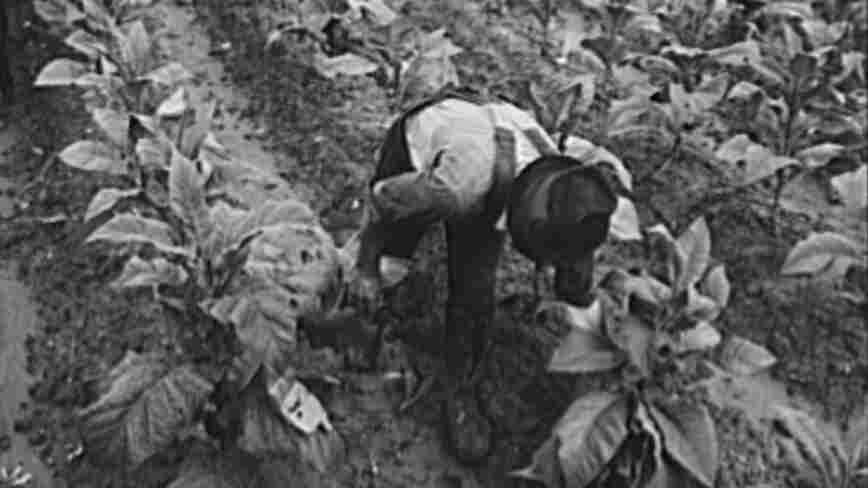 Tobacco farmer cuts leaves during the Great Depression.