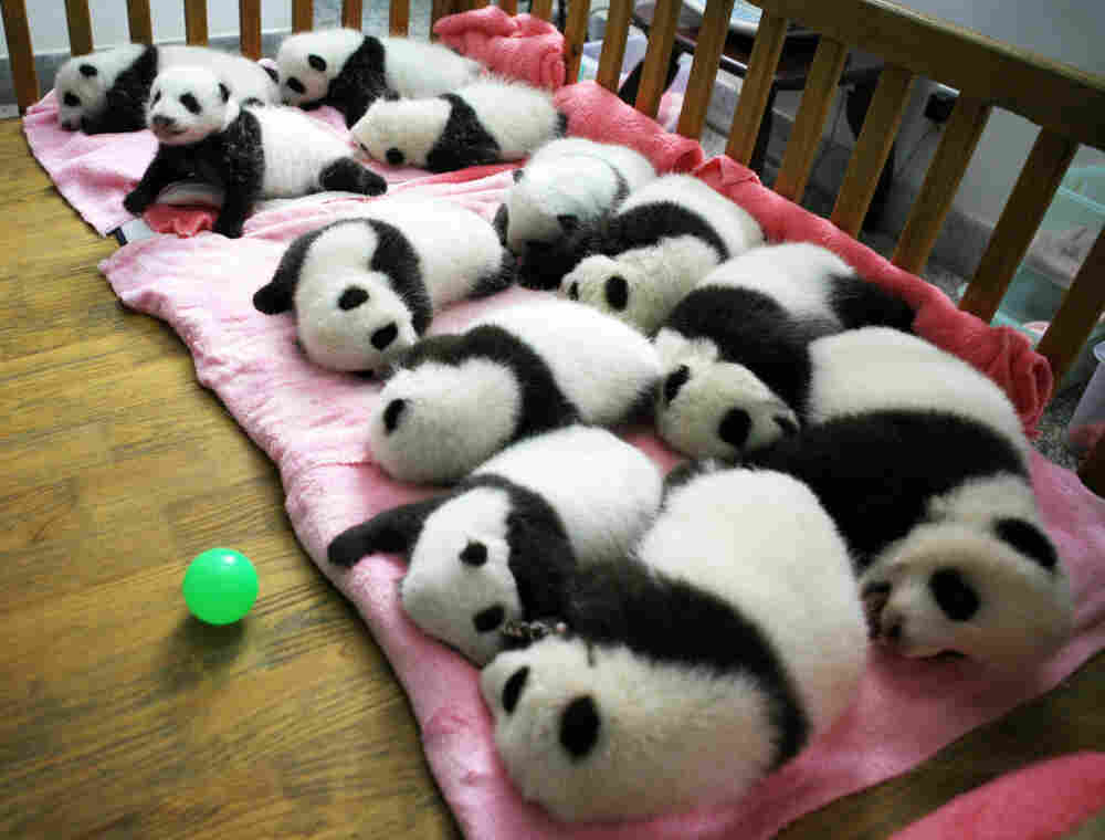 This photo taken on Sept. 26 shows a group of giant panda cubs napping at a nursery in the research base of the Giant Panda Breeding Centre in Chengdu, in southwest China's Sichuan province.