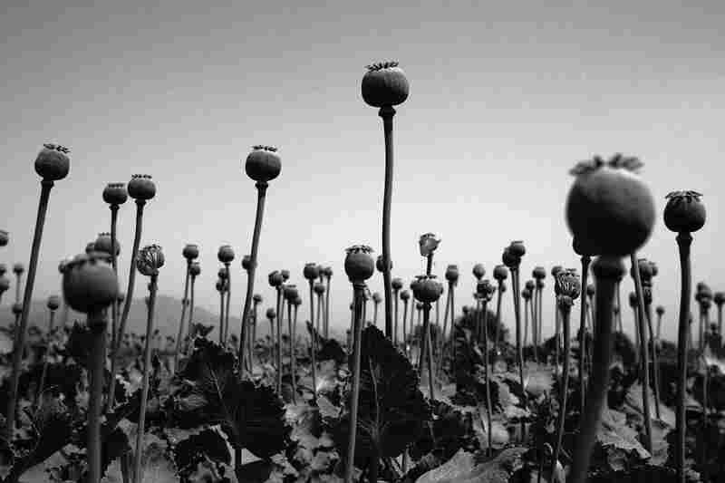 The poppy harvest, Nangrahar Province, 2005