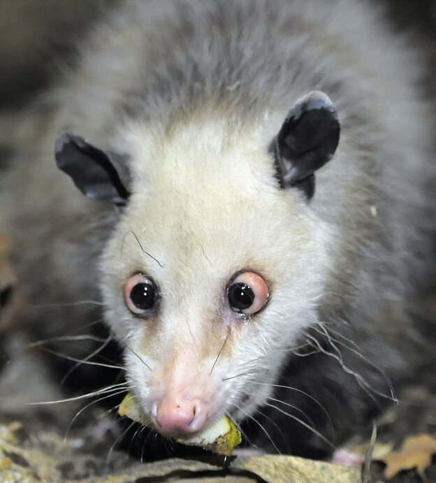 Germany's beloved cross-eyed opossum investigates her new enclosure in the giant tropical hall 'Gondwanaland' in the Le