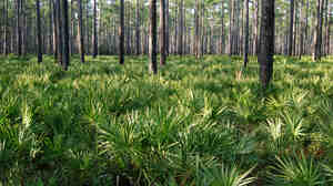 Field of dreams: saw palmetto thriving in Florida's Osceola National Forest.