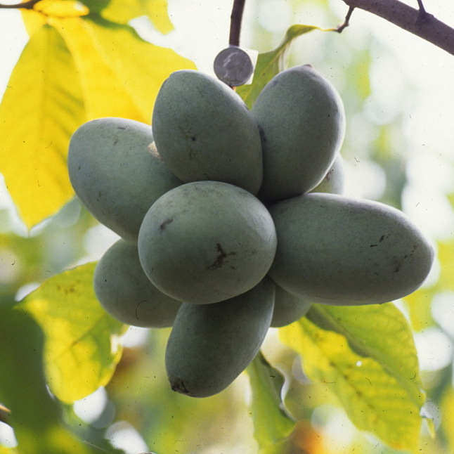 Plant scientist Neal Peterson has documented pawpaws extensively -- both wild varieties and his cultivated versions. This photo from the 1990s shows a cluster of fruit hanging from a tree.