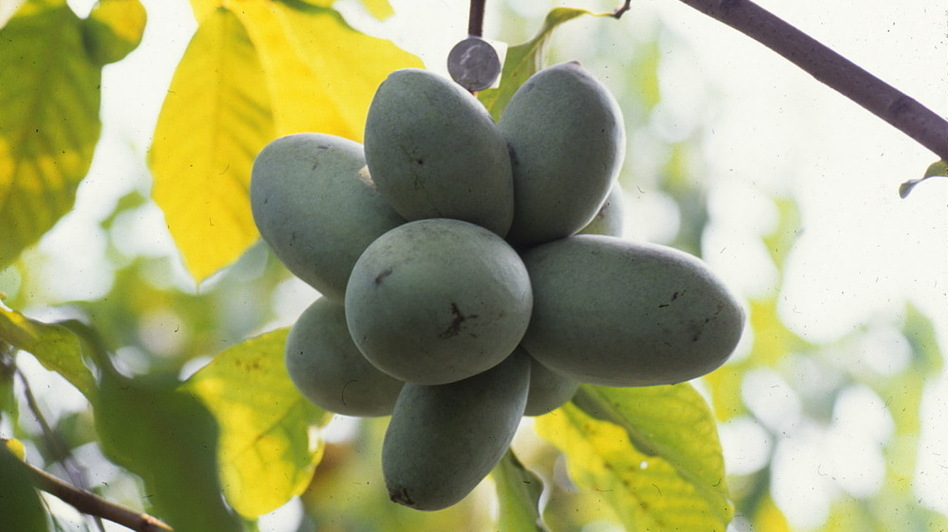 Plant scientist Neal Peterson has documented pawpaws extensively — both wild varieties and his cultivated versions. This photo from the 1990s shows a cluster of fruit hanging from a tree. (Courtesy of Neal Peterson)