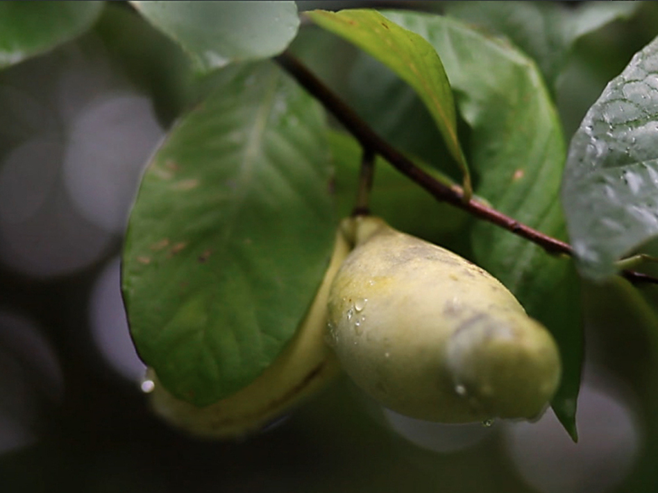 A pawpaw ripe for the picking (Zac Visco for NPR)