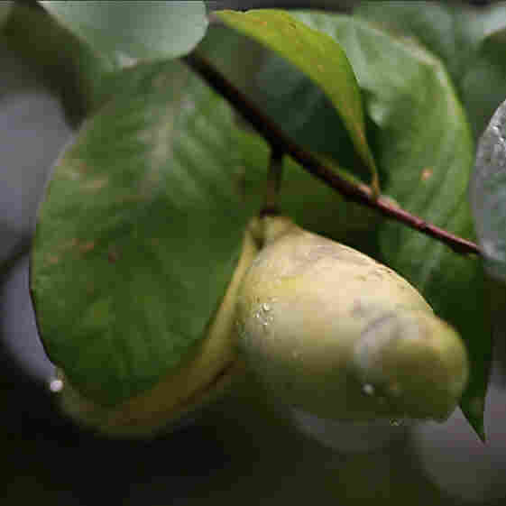 The Pawpaw: Foraging For America's Forgotten Fruit