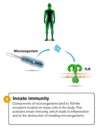 An illustration of innate immunity.