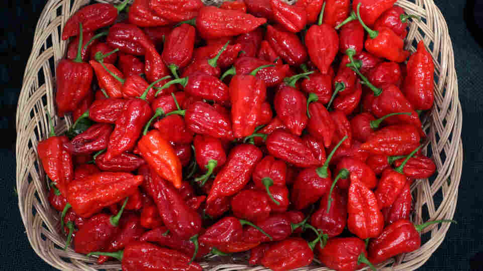 The curry contest that put several participants in the hospital in Scotland likely used a relative of these 'Dorset Naga' chillies, one of the hottest varieties of chilli in the world.