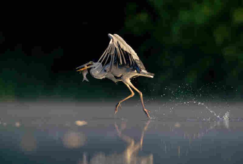 Gray Heron.