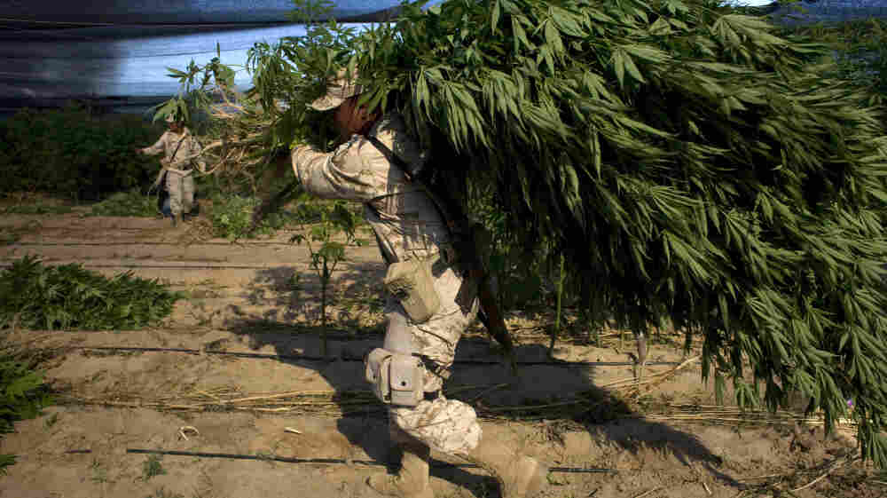 A Mexican soldier carries a marijuana plant that was found on a large plantation in Baja California state, near the border with the U.S., on July 15. The U.S. military has been stepping up its assistance to Mexico in the fight against drug cartels.