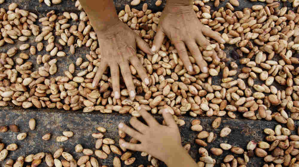 Farmers dry cacao beans in Uchiza, Peru, a file photo from 2008. Research