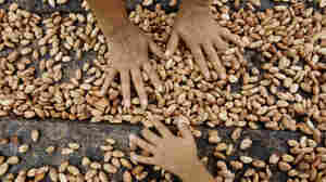 Farmers dry cacao beans in Uchiza, Peru, a file photo from 2008. Researchers are exploring the wild cacao bounty of Peru's Amazon Basin, par