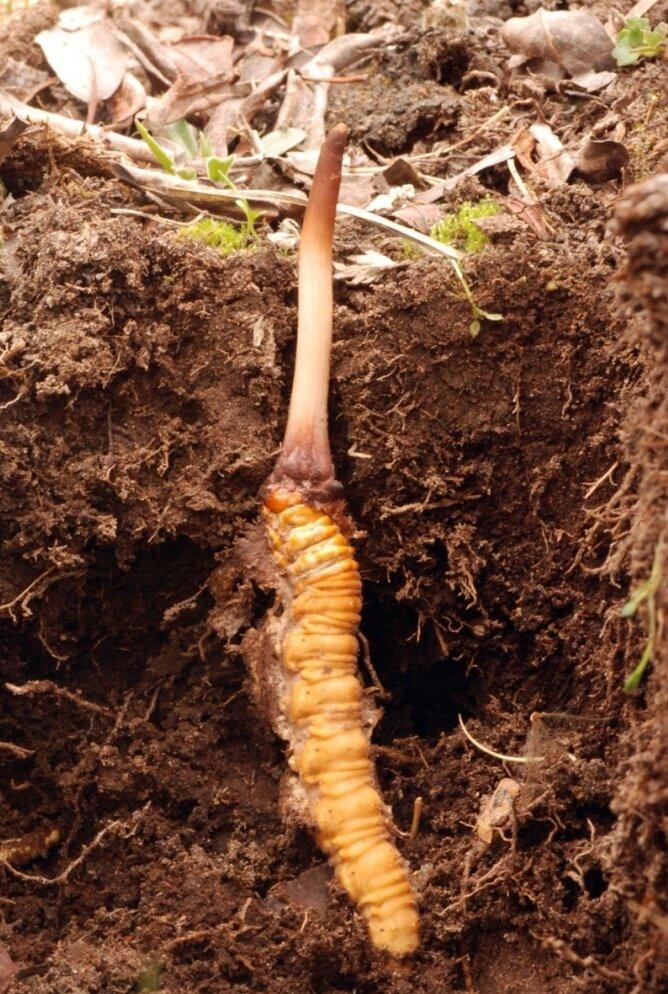 Caterpillar Fungus: The Viagra Of The Himalayas : NPR