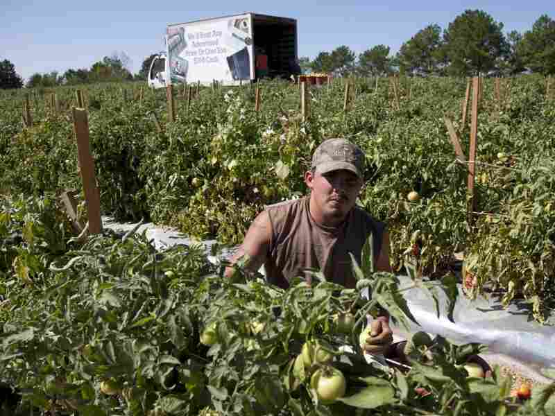 Jeremy Gonzalez picks tomatoes on a farm in Steele, Ala. Much of the crop is rotting as many of the migrant workers who normally work these fields have moved to other states to find work.