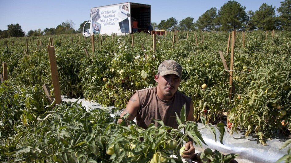 Jeremy Gonzalez picks tomatoes on a farm in Steele, Ala. Much of the crop is rotting as many of the migrant workers who normally work these fields have moved to other states to find work. (AP)