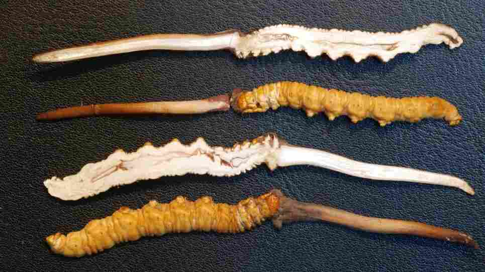 Caterpillar fungus, (Cordyceps Sinensis), is known as the Viagra of the Himalayas. Here it is shown sliced in half.