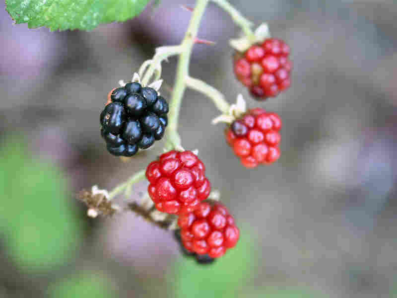 A ripe blackberry hangs among reddish, unripe ones on a vine