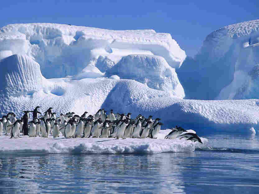 ADELIE PENGUIN (Pygoscelis adeliae), GROUP DIVING FROM ICEFLOE IN HOPE BAY, ANTARCTIC PENINSULA, ANTARTICA