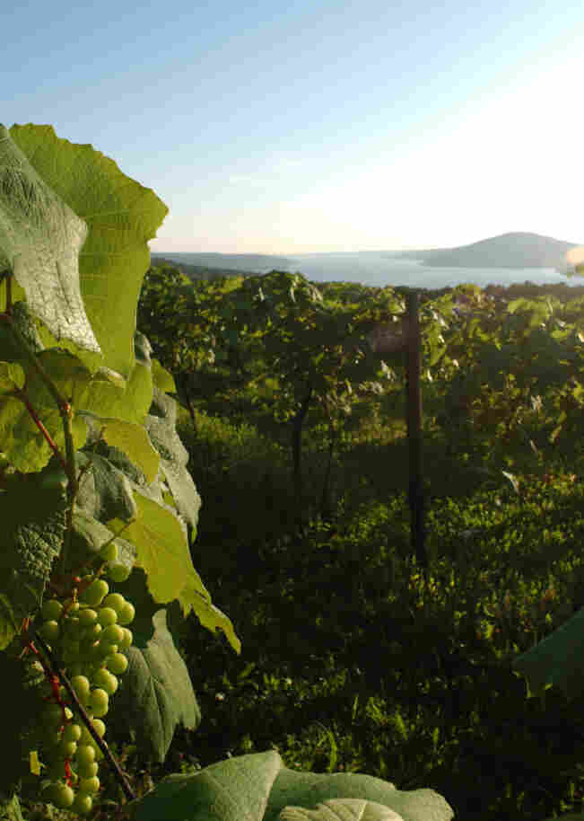 Grapes hang in a vineyard overlooking Canandaigua Lake in the Finger Lakes region of upstate New York.