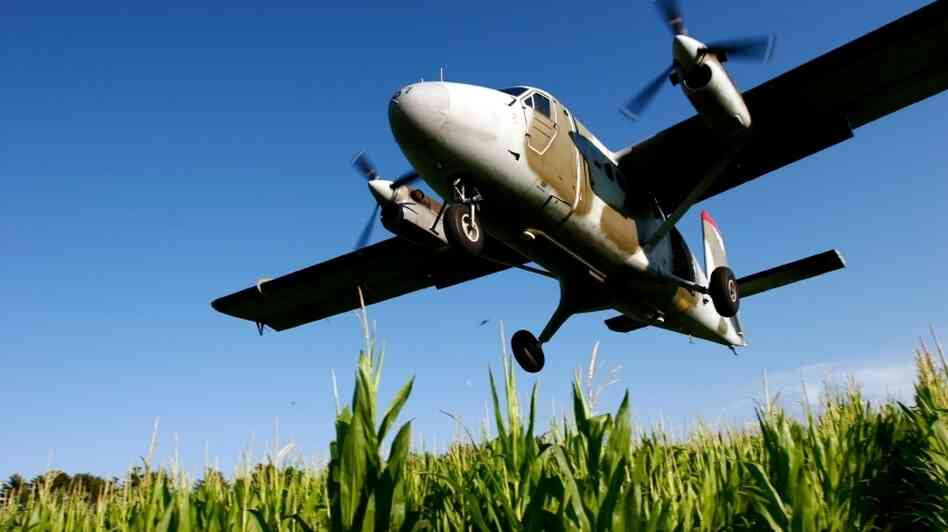 A plane comes in for a landing, flying low over a corn field.