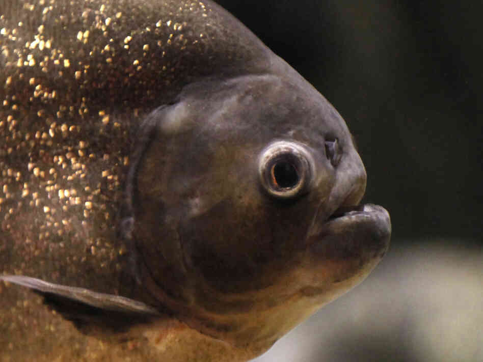 A red-bellied piranha. You don't want to hear one.