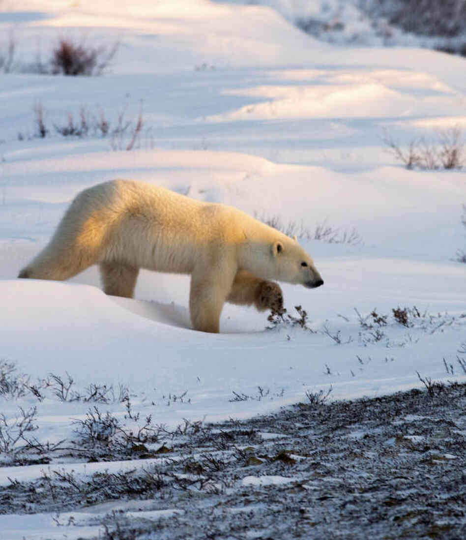 A researcher who wrote a famous report about dead polar bears is being re-interviewed by federal investigators, who are continuing to probe allegations of misconduct. Above, a polar bear walks on the frozen tundra on the edge of Hudson Bay.
