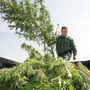 A sheriff officer sifts through marijuana in the back of a trailer which was confiscated from a field last Wednesday in Sanger, Calif.