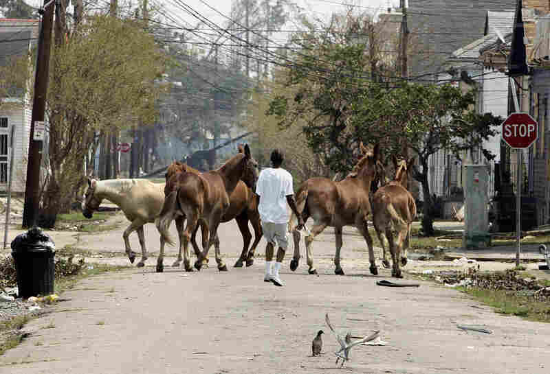 A man chases away horses and mules, used to pull tourists on carriage rides, after they escaped from their pen in the Bywater section of New Orleans on Sept. 5, 2005, following Hurricane Katrina.