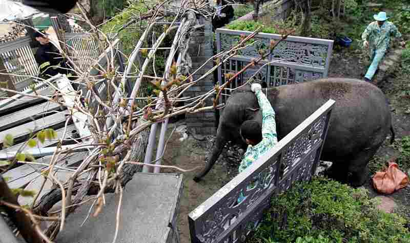 Animal trainers coax an elephant into a cage in Seoul, South Korea, on April 20, 2005. Six elephants escaped from an amusement park and injured a woman as they rampaged through the city. All of the animals were eventually captured and returned to the park.