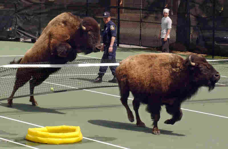 Nine American bison escaped from Buzz Berg's farm in Pikesville, Md., on April 26, 2005. Two of the bison, chased by police, ran through a tennis court at Greene Tree gated community.