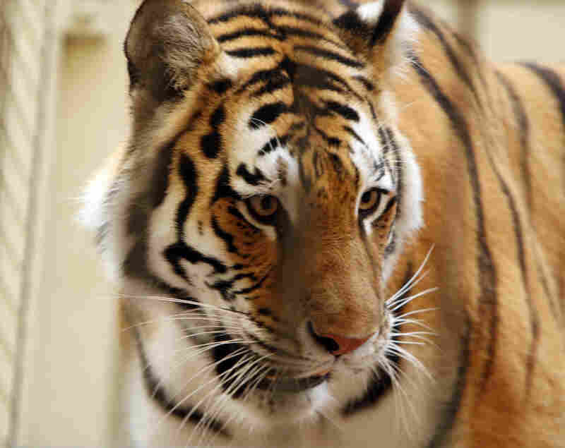 Tatiana, a female Siberian tiger, escaped from an enclosure at the San Francisco Zoo on Christmas Day 2007, killing one person and injuring two others. Police shot the animal to death.