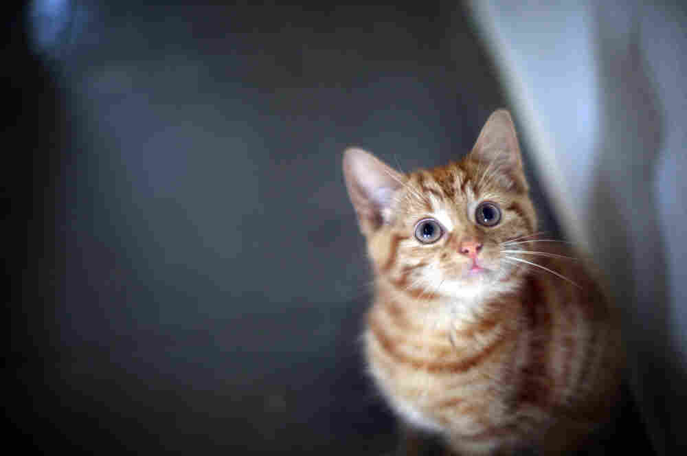 Milly, a 13-week-old kitten looks through the glass of her pen as she waits to be re-homed at The Society for Abandoned Animals Sanctuary in Sale, Manchester, UK.
