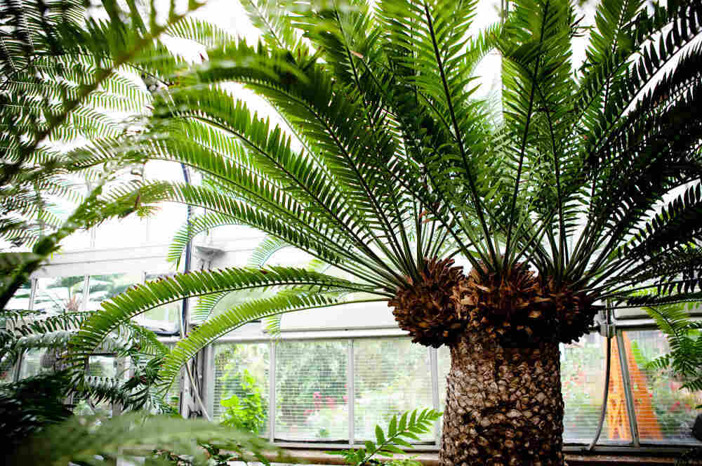 "A cycad stands at the United States Botanic Garden in Washington, D.C., on Oct. 19. The 300 ""modern"" cycad species burst onto the scene about 12 million years ago, though the lineage of cycads extends back 300 million years."
