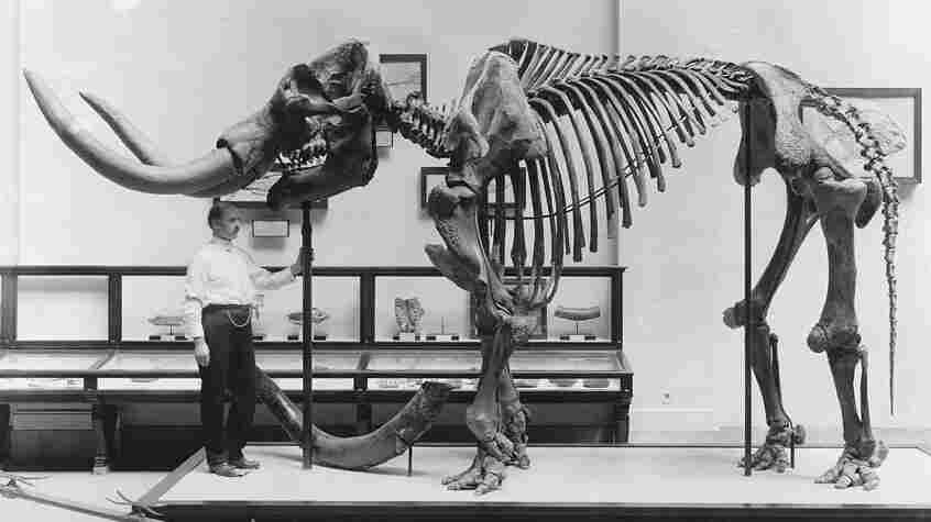 A museum employee stands beneath a mastodon skeleton on display at the U.S. National Museum, now the Smithsonian National Museum of Natural History, circa 1917. A new study revisits an old debate about the evidence for an early mastodon hunt in North America.