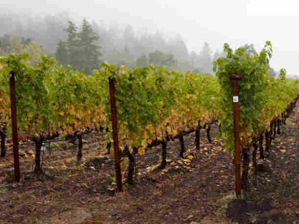 Damp weather in wine country can make for moldy grapes that can't be harvested.