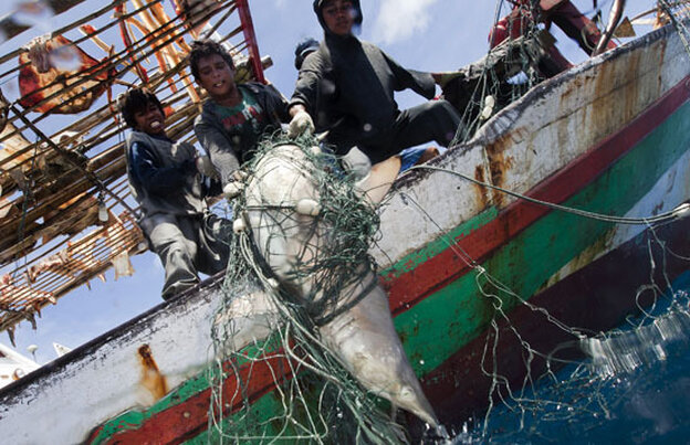 A shark is caught in a fishing net in Indonesia.