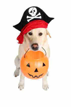 A dog dressed as a pirate holding a Halloween pumpkin.