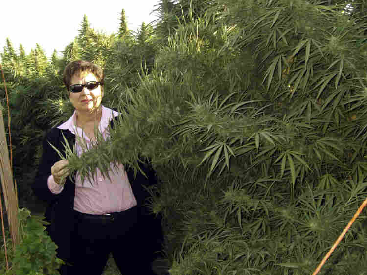 Fresno Sheriff Margaret Mims stands beside a 12-foot tall marijuana plant in Fresno County last month.