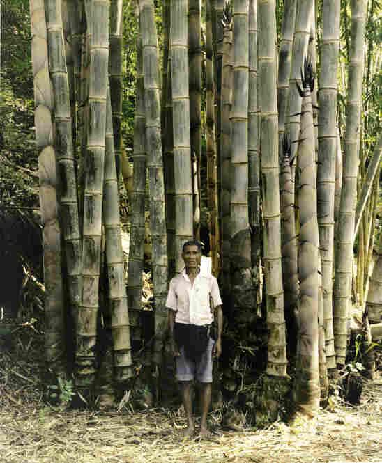 Man in bamboo grove, Bena village, Flores, Indonesia 2007