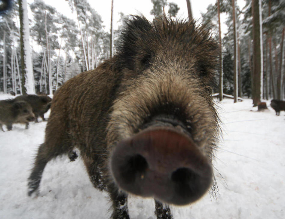 <p>A wild boar near Allersberg, Bavaria.</p>