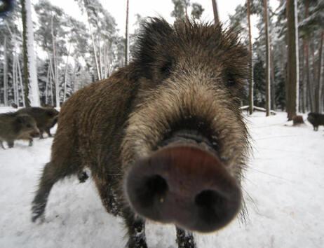 A wild boar near Allersberg, Bavaria.